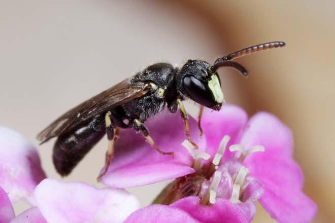 Plantas que atraen abejas nativas - Phoenix Hogar y Jardín